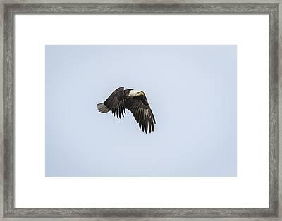 American Bald Eagle 2015-5 Framed Print