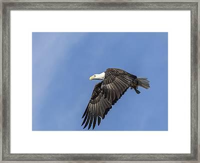 American Bald Eagle 2015-9 Framed Print