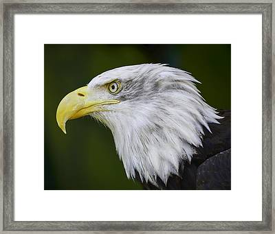 American Bald Eagle Framed Print by Chris Malone