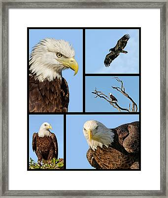 American Bald Eagle Collage Framed Print