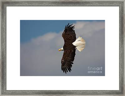 Framed Print featuring the photograph American Bald Eagle In Flight by Nick  Biemans