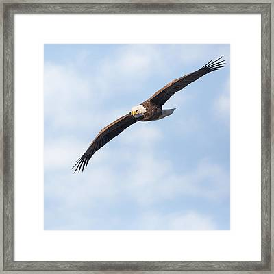 American Bald Eagle In Flight Square Framed Print by Bill Wakeley