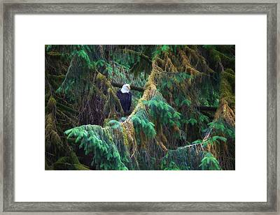 American Bald Eagle In The Pines Framed Print by June Jacobsen