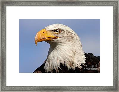 Framed Print featuring the photograph American Bald Eagle by Nick  Biemans