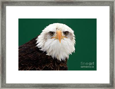 American Bald Eagle On The Look Out Framed Print
