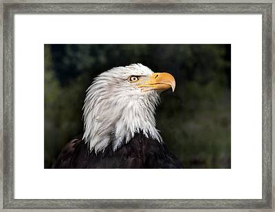 American Bald Eagle Profile Framed Print by June Jacobsen