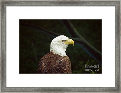 American Bald Eagle Framed Print by Vinnie Oakes