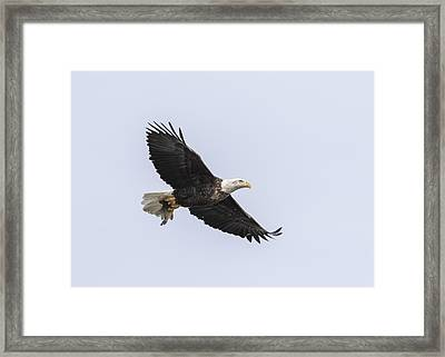 American Bald Eagle With A Fish 2 Framed Print