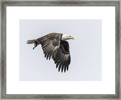 American Bald Eagle With A Fish 3 Framed Print