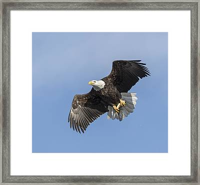 American Bald Eagle With A Fish 1 Framed Print