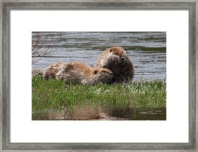 American Beaver Pair Framed Print