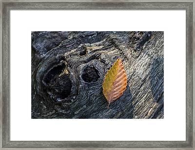 American Beech Leaf Framed Print by Andrew Pacheco