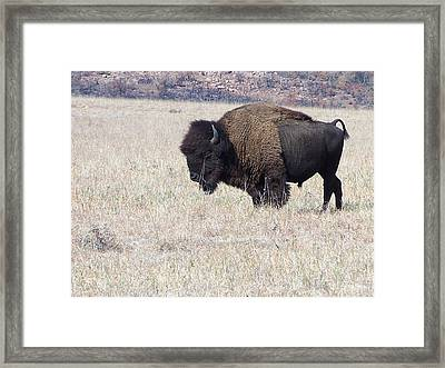 Framed Print featuring the photograph American Bison by Alan Lakin