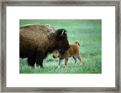 American Bison And Calf Yellowstone Np Framed Print