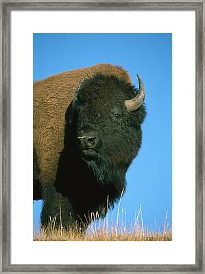 American Bison Bull Framed Print
