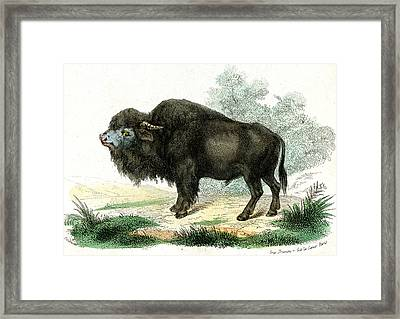 American Bison Framed Print by Collection Abecasis