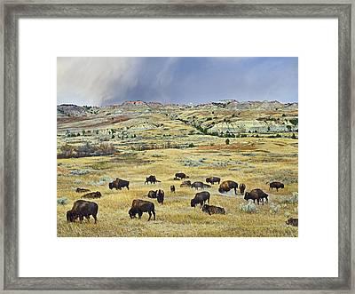 American  Bison Herd Grazing Framed Print by Tim Fitzharris