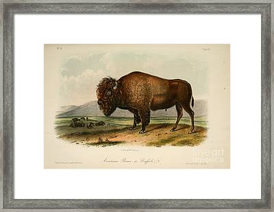 American Bison  Framed Print by Celestial Images