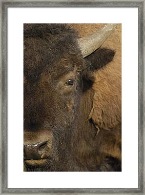 American Bison  Male Wyoming Framed Print by Pete Oxford