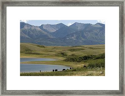American Bison Framed Print by Mark Newman