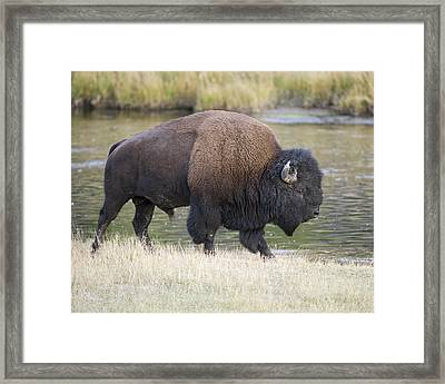 American Bison On The Madison River Framed Print by Gary Langley