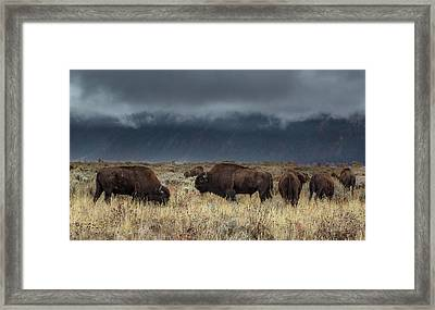 American Bison On The Prairie Framed Print