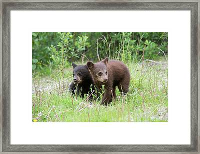 American Black Bear Cubs Framed Print