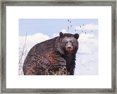 American Black Bear Framed Print