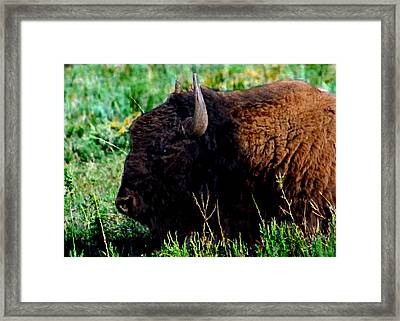 American Buffalo Yellowstone Painting Framed Print by Bob and Nadine Johnston