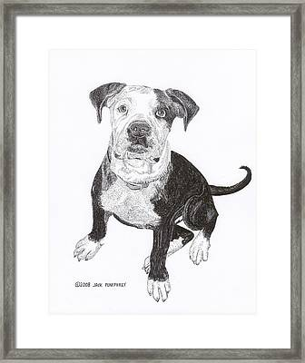 American Bull Dog As A Pup Framed Print by Jack Pumphrey
