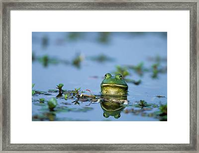 American Bullfrog (rana Catesbeiana Framed Print by Richard and Susan Day