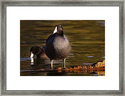 Framed Print featuring the photograph American Coot  by Brian Cross