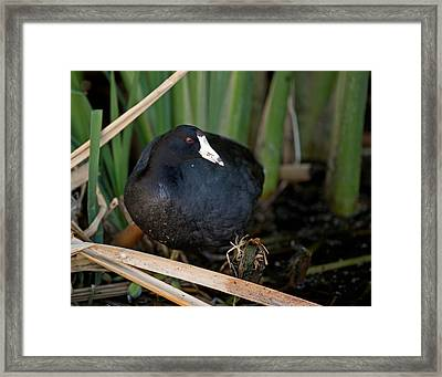 American Coot Framed Print by Brian Magnier