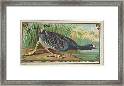 American Coot, From The Game Birds Framed Print by Issued by Allen & Ginter