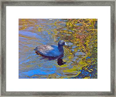 American Coot Framed Print by Kathy King