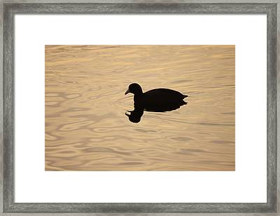 American Coot Silhouette Framed Print by Brian Magnier