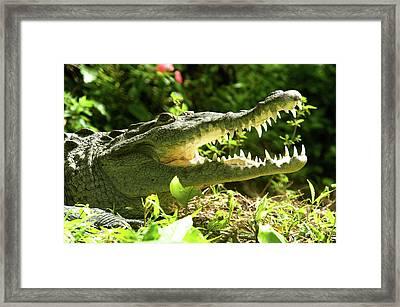 American Crocodile (crocodylus Acutus Framed Print