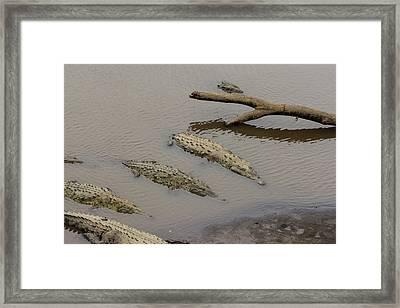 American Crocodiles On The Tarcoles Framed Print by Jon G. Fuller