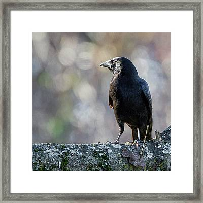 American Crow Square Framed Print by Bill Wakeley