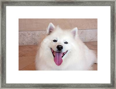 American Eskimo Dog Lying On The Patio Framed Print