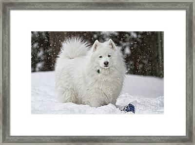 American Eskimo Dog  Framed Print by Marvin Blaine