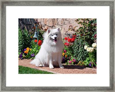American Eskimo Dog On Garden Path Framed Print