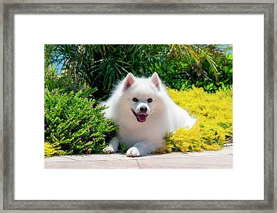American Eskimo Lying In Garden Plants Framed Print