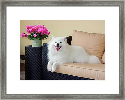 American Eskimo Lying On Patio Couch Framed Print