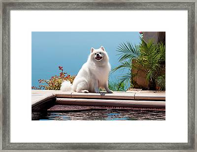 American Eskimo Poolside (mr & Pr Framed Print