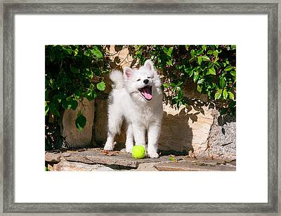 American Eskimo Puppy Ready To Play Framed Print