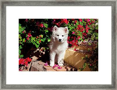 American Eskimo Puppy Sitting On Garden Framed Print