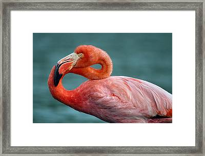 American Flamingo In Galapagos Framed Print by June Jacobsen