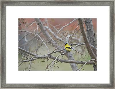 American Goldfinch 1 Framed Print