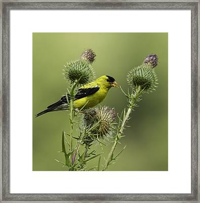 American Goldfinch Eating Thistle Seed Framed Print